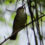 May Augusta-Aiken Audubon Zoom Meeting:  The Secretive Swainson's Warbler